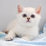 Котёнок британской серебристой шиншиллы с голубыми глазами, Новосибирск