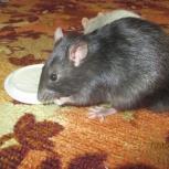 Декоративные крысы, Новосибирск