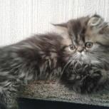 Персидский котенок!, Новосибирск