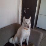 Потерялась собака.Помогите пожалуйста!Белая лайка, Новосибирск