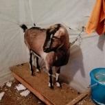 Продам нубийскую козу (2 года), Новосибирск