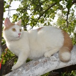 Молодой красавчик (кот) Лео ищет дом и самых замечательных хозяев!, Новосибирск