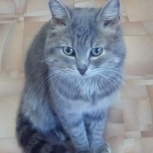 Найден молодой котик, в районе ул дениса давыдова, Новосибирск