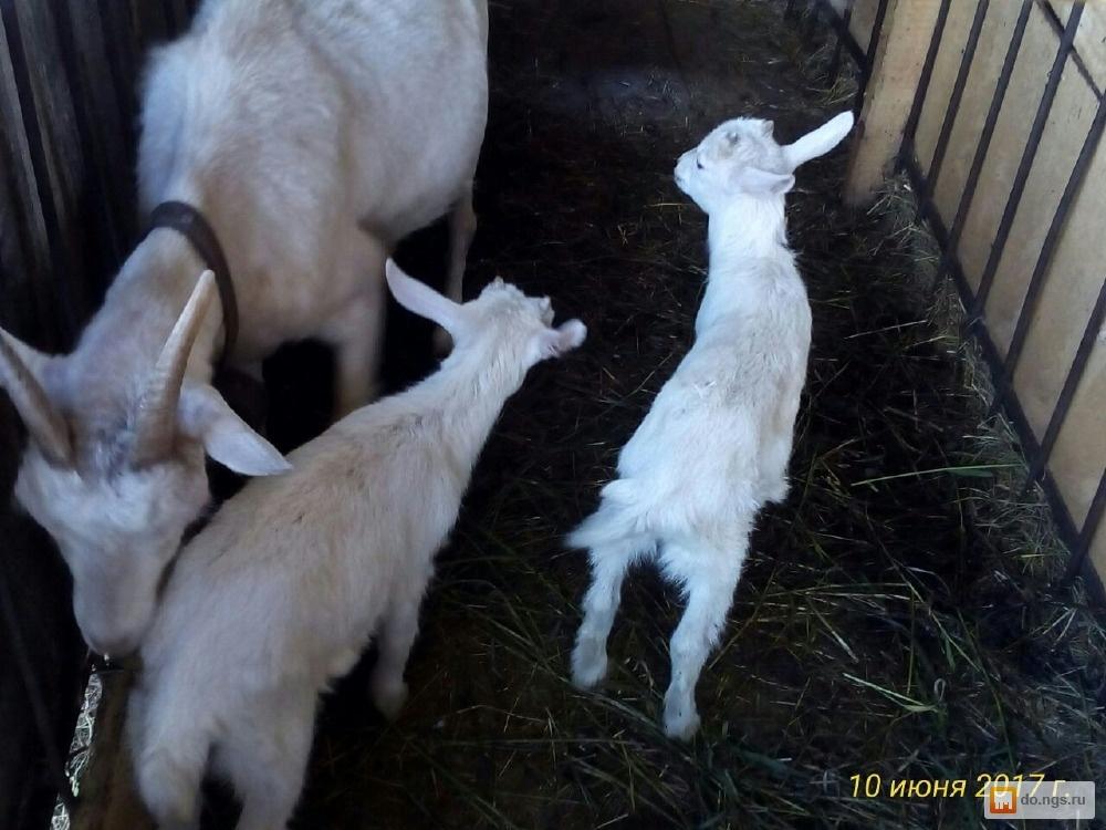 Овцы козы свиньи видэо часное подворье видэо фото 666-850