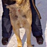 Серьёзный пес Михаил, Новосибирск