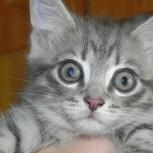 Отдам котенка очаровашку, Новосибирск