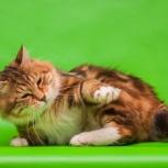 Вязка кота золотого, Новосибирск