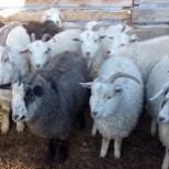 Продам коз в количестве 50-60 голов, Новосибирск