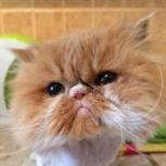 Взрослая кошка, стерилизованная, Новосибирск