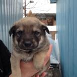 Отдам щенков в хорошие руки, Новосибирск