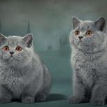 Продажа!!! Котята британской породы!, Новосибирск