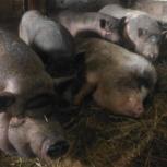 Продам семью вьетнамских вислобрюхих свиней, Новосибирск