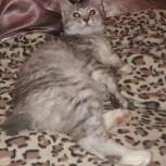 Домашняя рысь кошка, Новосибирск