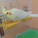 Продам попугая корелла, Новосибирск