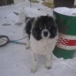 собака Джэк. 2 года. Отдам, Новосибирск
