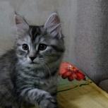 шикарная девочка курильский бобтейл, Новосибирск