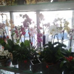 Орхидеи фаленопсисы, Новосибирск