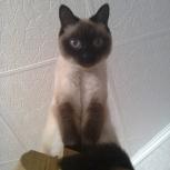 Потерялась кошка тайской породы, Новосибирск