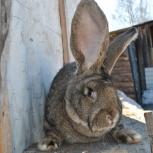 Продам кроликов великанов, Новосибирск