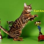 Бенгальские котятки для брони от лучших производителей, Новосибирск