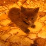 Кошка чистосерая, Новосибирск