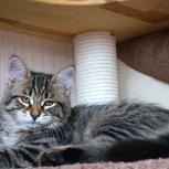 Породистые Сибирские котята., Новосибирск