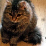 Пушистые кошки ,фенотип сибирской, Новосибирск