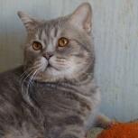 кот Ральф-фенотип британца (кастрат), Новосибирск