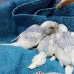 Птенцы волнистого попугая, Новосибирск