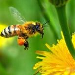 Пчёлы для апитерапии и лечебного пчелоужаления, Новосибирск