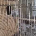 ожереловый попугай, Новосибирск