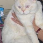 Котята с подарком, шотландские шикарные страйты крупные от этого кота, Новосибирск