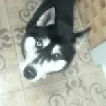 Найден пес черно-белый кобель хаски, Новосибирск