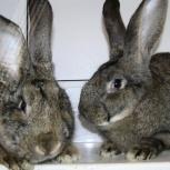 Продам кроликов от 60 дней с личного подсобного хозяйства, Новосибирск