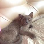 Кошка бурма девчуля голубого окраса, Новосибирск