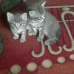 котятки в дар ( мальчики и девочки), Новосибирск