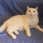 Белоснежный кот., Новосибирск