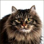 Ищет дом молодой кот-красавец Тиша!, Новосибирск