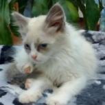 Молодой красавЕц - шикарнейший котЕц, Новосибирск