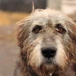 Потерялся крупный пёс, Новосибирск