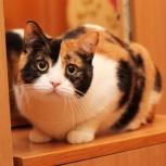 Ласковая, игривая, очаровательная трехцветная кошечка Санта!, Новосибирск