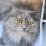 Ищем достойного хозяина для оригинальной кошки Финти!, Новосибирск