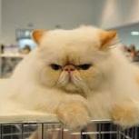 Персидский кот на вязку, Новосибирск
