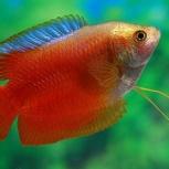 рыбы лилиусы самцы, Новосибирск