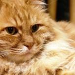 Кошечка Ириска в самые добрые руки, Новосибирск