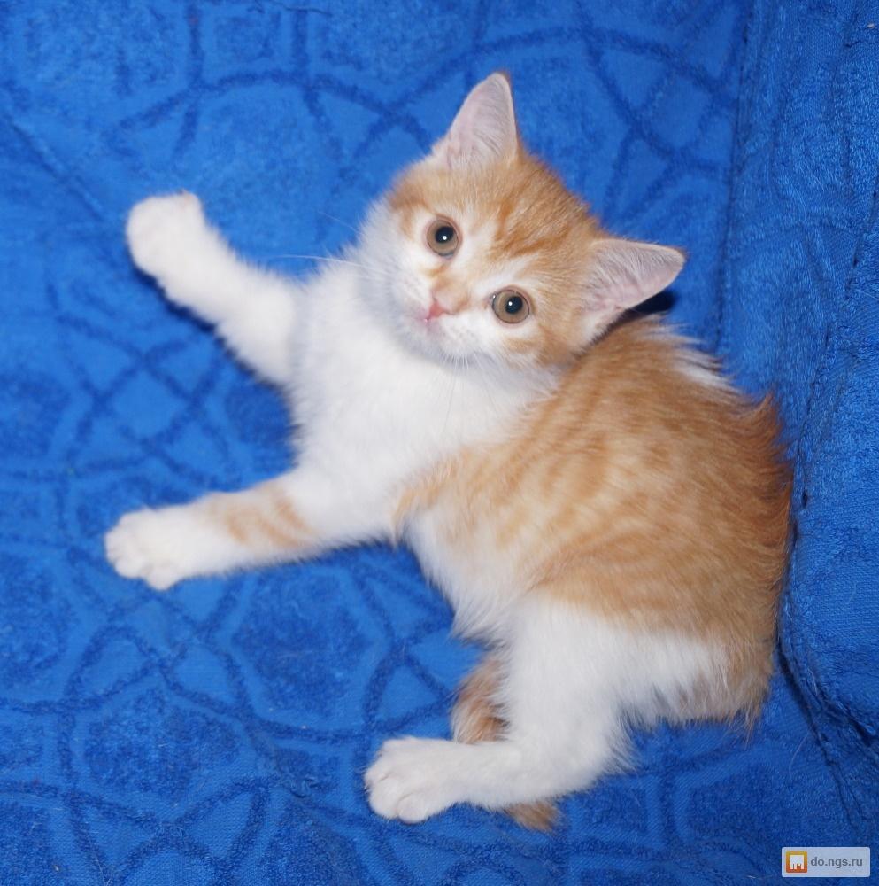 Шотландская рыжая вислоухая кошка