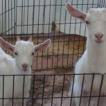 Козлик (комолый) и козочка (рогатая) д.р.22.02.17 молочной породы, Новосибирск