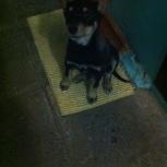 Потерялся щенок, Новосибирск