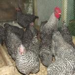 Инкубационное яйцо кур породы амрокс, Новосибирск