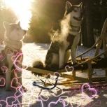 Катание на собачьих упряжках! Фотосессия с северными ездовыми cобаками, Новосибирск